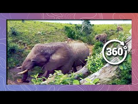 Elephants in 360 4K - Bird's Eye View (Wildlife and Nature 2018)