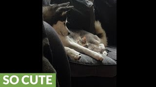 Husky & kitten share heart-melting interaction together