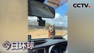 [今日环球] 澳大利亚:羊驼挡车 逗笑警察 | CCTV中文国际