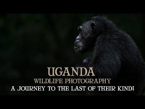 UGANDA - GORILLAS - CHIMPANZEES - PHOTOGRAPHY SAFARI - WILDLIFE