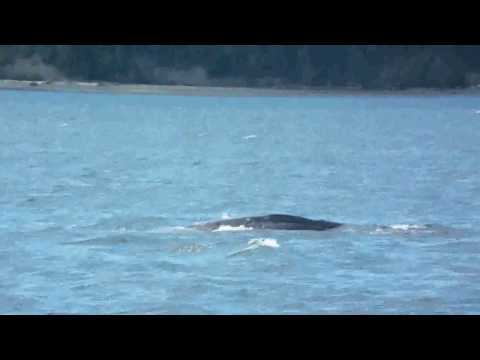 Grey Whale watching in the Saratoga Passage ( and seals )