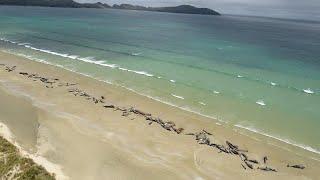 Strage di balene in Nuova Zelanda: 175 muoiono spiaggiate