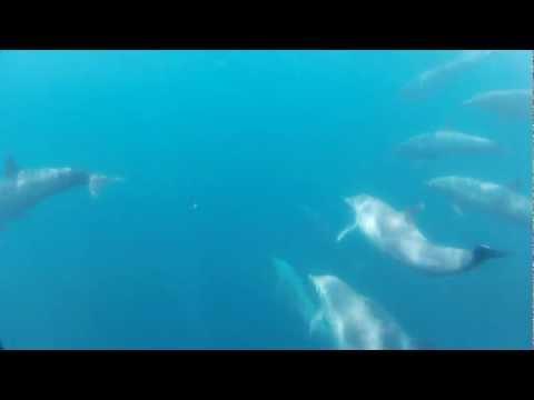 Golfinhos offshore