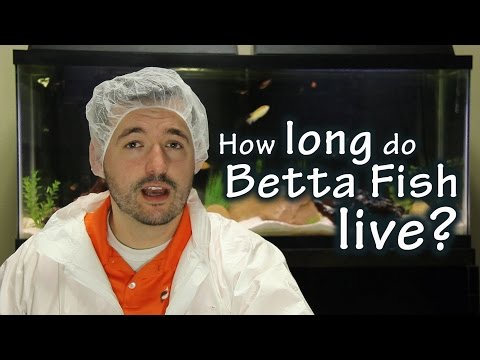 How Long Do Betta Fish Live? - Pisces Pros Quick Tips