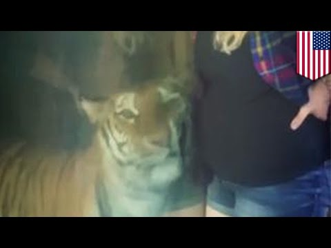 "Tiger pregnant woman: zoo tiger takes interest in woman's baby bump, internet ""Awws"" - TomoNews"