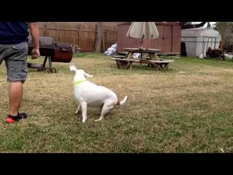 Bagle dog tricks