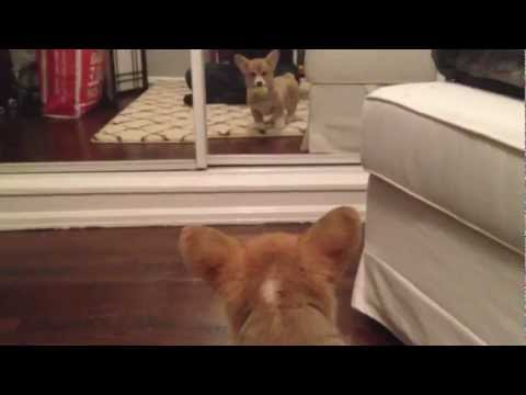 Corgi Puppy Meets Her Reflection