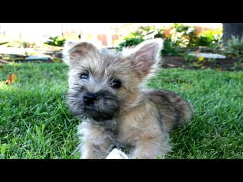 Cairn Terrier Deworming