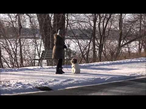 Milly (Polish Lowland Sheepdog) Obedience Training Demonstration