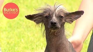 Burke's Backyard, Chinese Crested Dog Road Test
