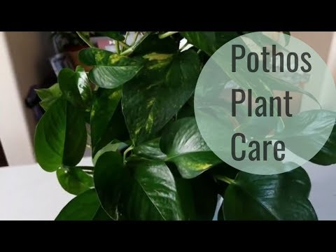 Pothos Plant care and How to Style