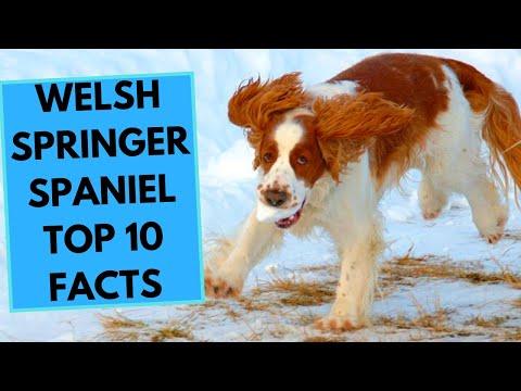 Welsh Springer Spaniel  TOP 10 Interesting Facts