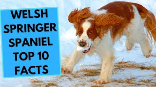Welsh Springer Spaniel  TOP 10 Interesting Facts