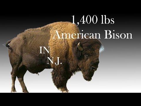 Buffalo In New Jersey | American Bison Farm - Readington River