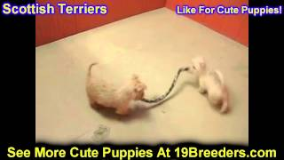Scottish Terrier, Puppies, For, Sale, In, Allegheny, Pennsylvania, Pa, Bucks, Chester, County, Berks
