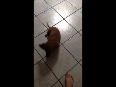 Teaching my dog how to roll over