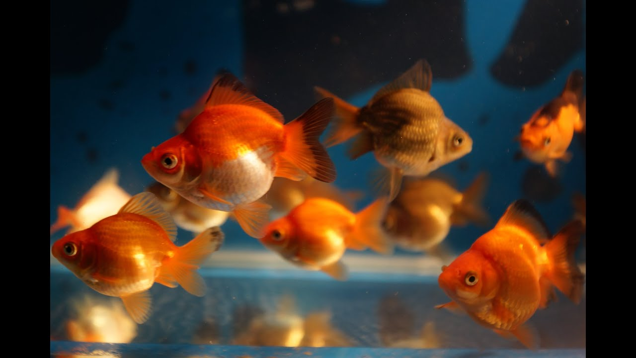 Ryukin short tail goldfish on sale batch 3 of 4 hobbyist for Gold fish for sale