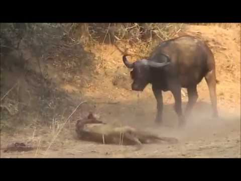 Bufalo Aslanı Ödürüyor Bufalolar Aslanı Parçalıyor