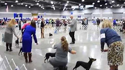 Standard Manchester Terriers @ 2015 Portland Dog Show (PDX Expo Center)