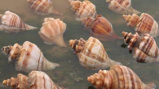 風暴過後,養殖場的海螺都被拍打上來,表妹瘋狂撿漏,賺大了! 【海村小梅】