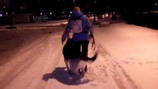 Управляемая городская собака. Восточно-европейская овчарка и хозяйка Ольга.