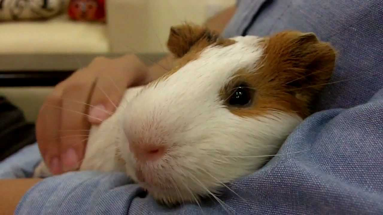 Cute Baby Pigs Wallpaper Henry The Guinea Pig Loves Cuddling And Getting Massages