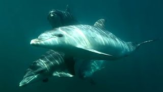 Polperro Dolphin Swims Mornington Peninsula - Swim with Wild Dolphins