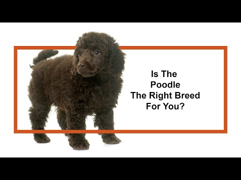 Everything Puppies - Poodle Breed Information (2019)