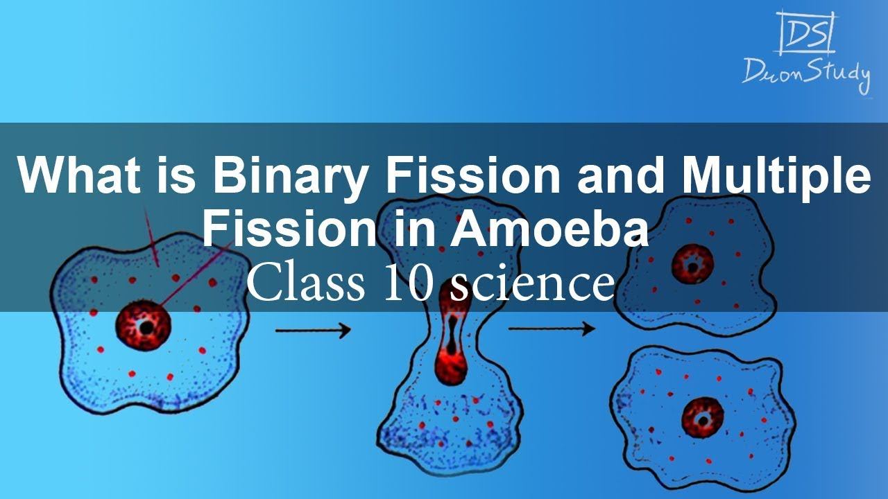what id binary fission and multiple fission in amoeba how do organism reproduce class 10 science [ 1280 x 720 Pixel ]