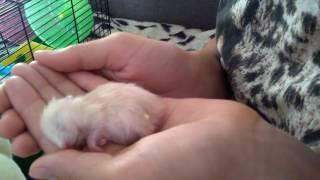 Хомячок спит на ладони