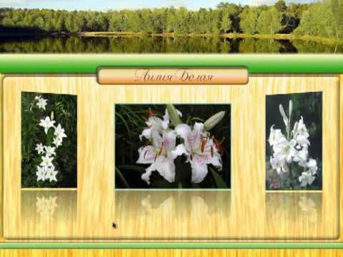 Магия растений. Лилия белая