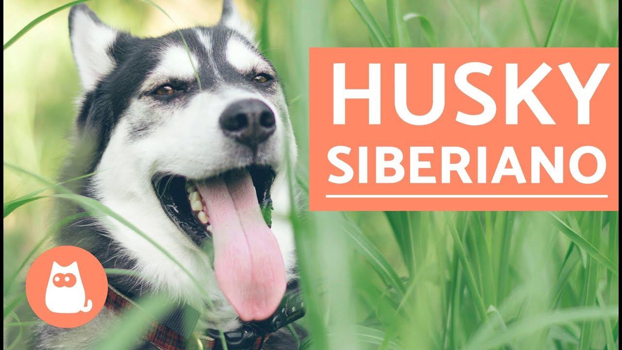 El Perro Husky Siberiano Youtube