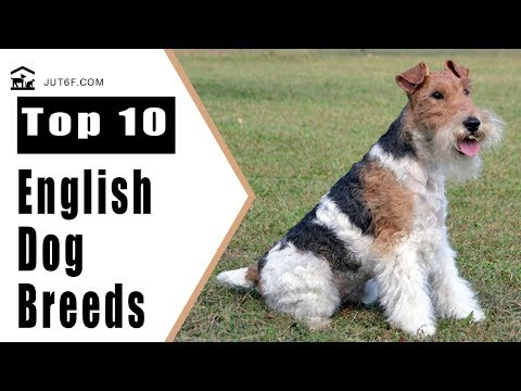 Top 10 English Dog Breeds