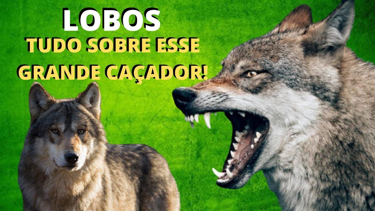 LOBOS! UM DOS ANIMAIS MAIS FANTÁSTICOS DO MUNDO! UMA ESPÉCIE BASTANTE TEMIDA E TAMBÉM MUITO ADMIRADA