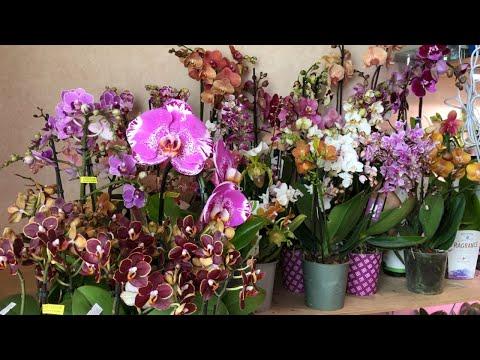 Продажа орхидей. Орхидеи почтой. Купить орхидею.