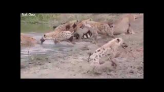 Animal fights Animal attacks. 【野生動物の戦い】ライオンの狩り サイ...