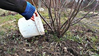 Будет много крупной смородины если в апреле сделать так с кустами Подкормка уход и обработка весной!