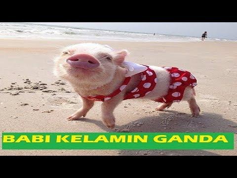 babi kelamin ganda.3GP