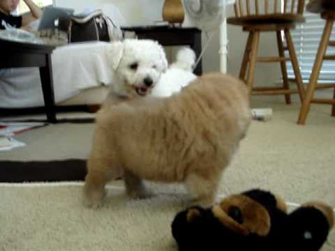 Chow Chow Cubby playing at 9 weeks old - YouTube