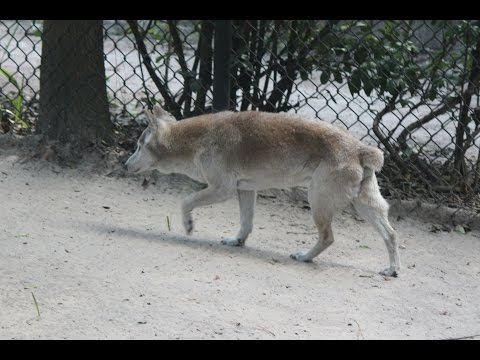 New Guinea Singing Dog : Tampa's Lowry Park Zoo