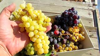 28.08.17. Время собирать виноград