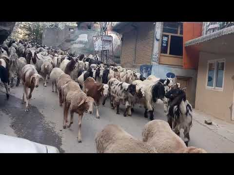 Kashmiri Traditional Bakarwal tribe with their cattle