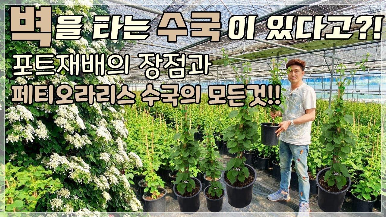 덩굴식물로 좋은 게 뭐가 있을까?페티오라리스수국에 대한 모든 것!(Feat. 포트재배의 장점)/Daelim Nursery