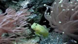 Goby - Sea People
