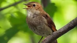 Пение соловья в лесу