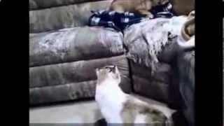 Кошки против Собак  Прикольная подборка видеороликов