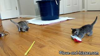 The kittens are 5 weeks old and refining their fighting skills