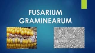 FUSARIUM GRAMINEARUM -TEMA 5 - HONGOS