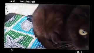 самоя серьезная кошка