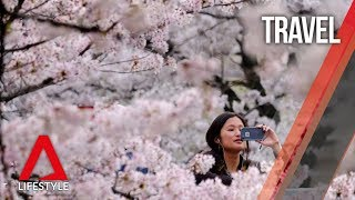 The Japan cherry blossom forecast 2019: Dates to note